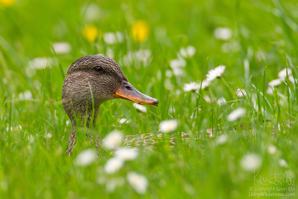 A female mallard duck (Anas platyrhynchos), surrounded by wildflowers, rests in tall grass in the Washington Park Arboretum, Seattle, Washington.