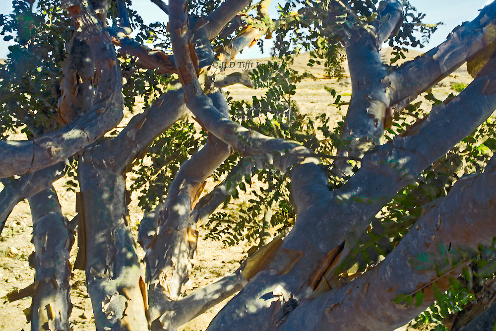 Frankincense Tree Images Frankincense Trees in The