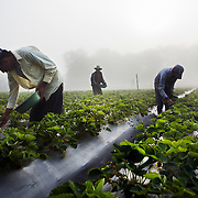 Emiliano and his day labourers harvesting strawberries as fog descends on the field. Emiliano Dominguez, 33, is a strawberry, beans and potato farmer in western Honduras. The father of three joined the USAID ACCESO project in 2013. Since then Emiliano has witnessed a significant increase in his crop production. Strawberry farming has been particularly profitable. In the three years since Emiliano joined the CropLife funded program, he has been able to buy more land, a truck to deliver his products, build a modern house with running water and electricity, and buy a television with a satellite dish. Emiliano is optimistic about the future and proud to be able to give his children the childhood and education he didn't get. Guice, Intibucá, Honduras.