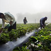 Strawberry Fields Forever, Honduras