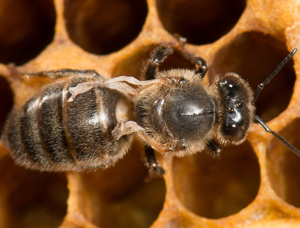 European honey bee (Apis mellifera), deformed wing virus, Captive,  credit: Palo Alto JMZ/M.D. Kern