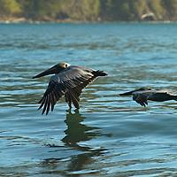 Brown pelicans in flight. Brown pelicans, Pelecanus occidentalis, flying low over the sea.