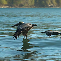 Brown pelicans in flight. Brown pelicans, Pelecanus occidentalis, flying low over the sea.