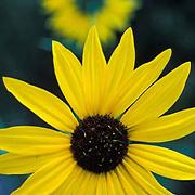 Sunflowers, Colorado