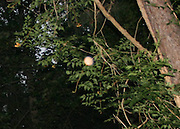 A double pink orb, floating near a trumpet vine about 30 feet from the ground.