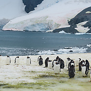 """Gentoo Penguins (Pygoscelis papua) emerge from iceberg bejeweled waters of the Southern Ocean to waddle to their summer colony on Cuverville Island, Antarctica. An adult Gentoo Penguin has a bright orange-red bill and a wide white stripe extending across the top of its head. Chicks have grey backs with white fronts. Of all penguins, Gentoos have the most prominent tail, which sweeps from side to side as they waddle on land, hence the scientific name Pygoscelis, """"rump-tailed."""" As the the third largest species of penguin, adult Gentoos reach 51 to 90 cm (20-36 in) high. They are the fastest underwater swimming penguin, reaching speeds of 36 km per hour. The rocky Cuverville Island is in Errera Channel off the west coast of Graham Land, the north portion of the Antarctic Peninsula. The island was discovered by the Belgian Antarctic Expedition (1897-1899) under Adrien de Gerlache, who named it for J.M.A. Cavelier de Cuverville (1834-1912), a vice admiral of the French Navy. Cuverville Island or Île de Cavelier de Cuverville is located at 64 degrees 41 minutes South Latitude and 62 degrees 38 minutes West Longitude."""