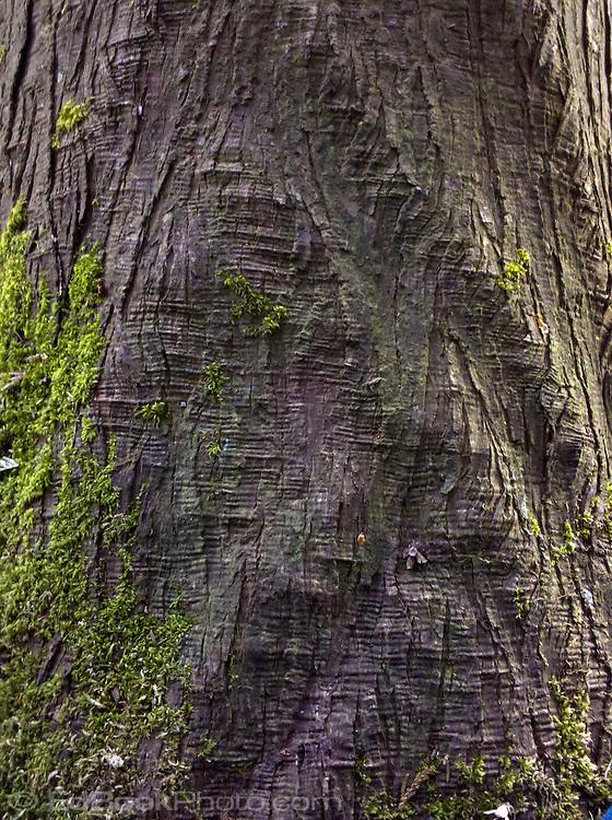 Western Red Cedar (Thuja plicata) tree trunk is rippled from stress.
