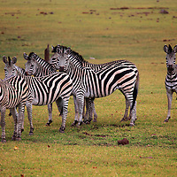 Africa, Zimbabwe, Matusadona. Zebra on the shore of Lake Kariba.