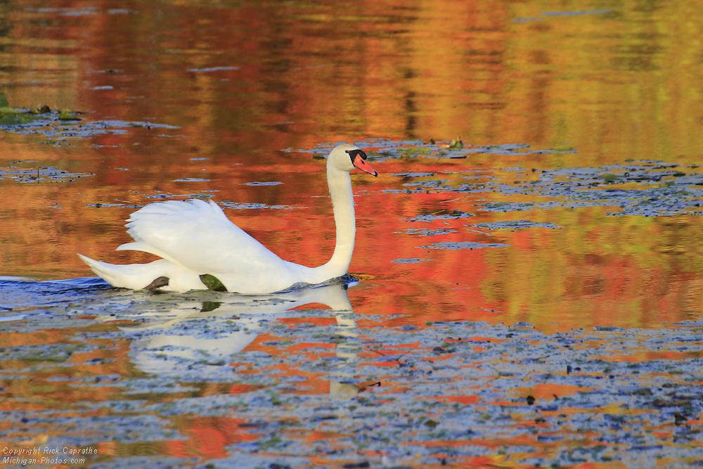 Swan, Kent Lake, Kensington Metro Park
