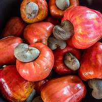Red cashew apples in Cost Rica