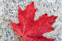 Red fall maple leaf against a granite bolder.