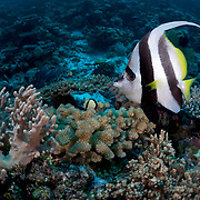 Solitary longfin bannerfish swimming along a coral reef. This fish appeared to be patrolling a limited area, with a tendency to return to this one spot. After a while, the fish grew accustomed to my presence and approached closely.