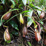 Pitcher plants (Nepenthes tentaculata) along the Kinabalu Summit Trail, Kinabalu National Park, Borneo, Malaysia.