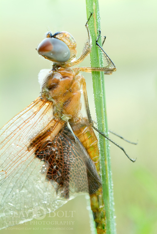Carolina Saddlebags (Tramea carolina) are commonly found around ponds, lakes and still bodies of water.