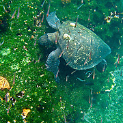 "A green sea turtle (Chelonia mydas) grazes underwater at Tagus Cove, on Isabela (Albemarle) Island, Galapagos Islands, Ecuador, South America. The ""green sea turtle"" name comes from its greenish fat and flesh. The hues of its shell range from olive-brown to black in Eastern Pacific green turtles. The green turtle belongs to the family Cheloniidae and is the only species in the genus Chelonia. The species lives in tropical and subtropical seas around the world, with two distinct populations in the Atlantic and Pacific Oceans. It has a flattened body covered by a large, teardrop-shaped carapace and a pair of large, paddle-like flippers. Unlike other members of its family such as the hawksbill and loggerhead turtles, Chelonia mydas is mostly herbivorous (plant eating). The adults are commonly found in shallow lagoons, feeding mostly on various species of seagrass. In 1959, Ecuador declared 97% of the land area of the Galápagos Islands to be Galápagos National Park, which UNESCO registered as a World Heritage Site in 1978. Ecuador created the Galápagos Marine Reserve in 1998, which UNESCO appended in 2001."