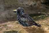 Starling Pictures - Photos