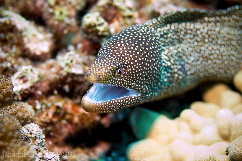 Whitemouth Moray Eel (Gymnothorax meleagris)