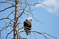 We rented a canoe in Banff and paddled into the first Vermillion lake.  We were lucky to see a large adult Eagle perched in a dead tree in the middle of the lake...©2009, Sean Phillips.http://www.Sean-Phillips.com