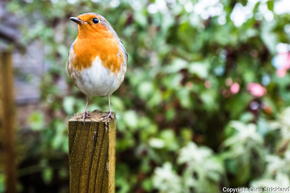 A red breasted Robin bird perches in a garden in the Scottish Borders.