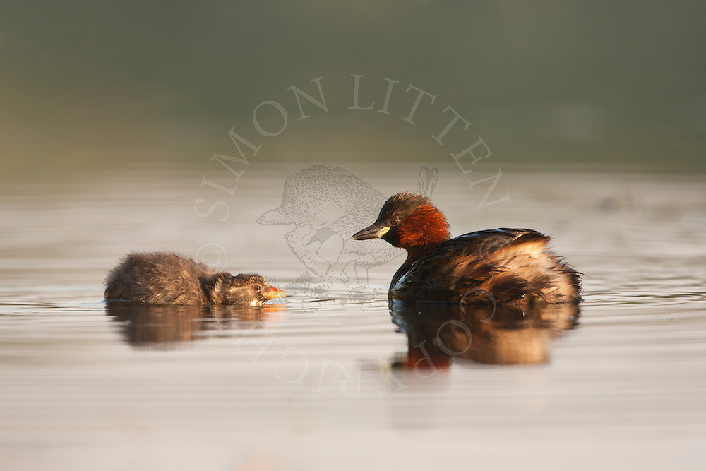 Little Grebe (Tachybaptus ruficollis) adult and chick swimming on pond, Norfolk, UK.