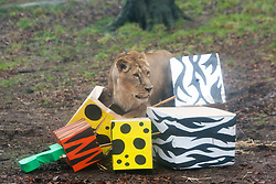 Edinburgh Zoo's very own 'king of the beasts' - Asiatic lion juvenile Jayendra - celebrated his 2nd birthday in style, but resident female Kamlesh stole his cake..©Michael Schofield.
