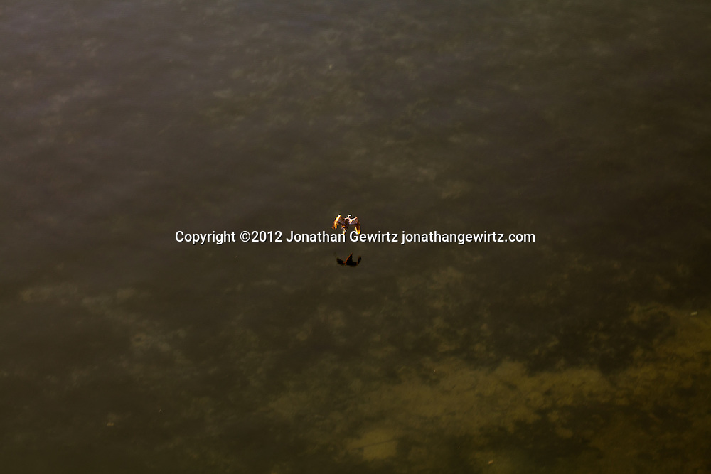 A sea bird flies low over shallows in Biscayne Bay, Florida around sunrise. WATERMARKS WILL NOT APPEAR ON PRINTS OR LICENSED IMAGES.