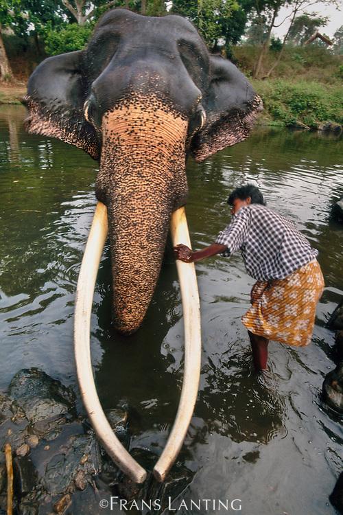 Domestic asiatic elephant with mahout, Elephas maximus, Mudumalai Wildlife Sanctuary, Western Ghats, India