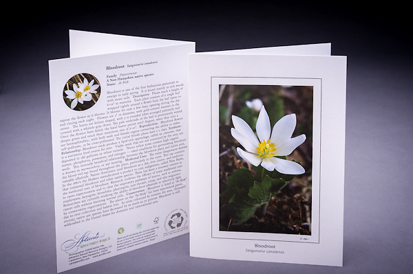 The Bloodroot is rich in history including early and modern medicinal uses; learn why is this native early blooming wildflower is considered &quot;at risk&quot; in NH. <br />