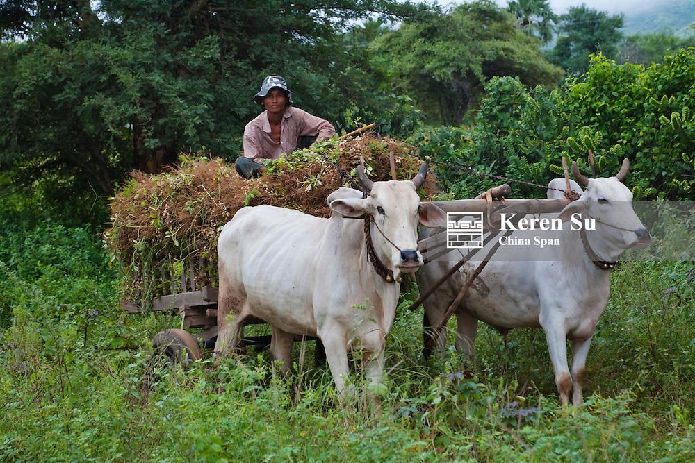 Man driving cow cart, Bagan, Myanmar