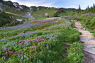 Wildflowers (Paintbrush, Lupines and Mountain Heather) along the Golden Gate Trail at Paradise in Mount Rainier National Park, Washington State, USA