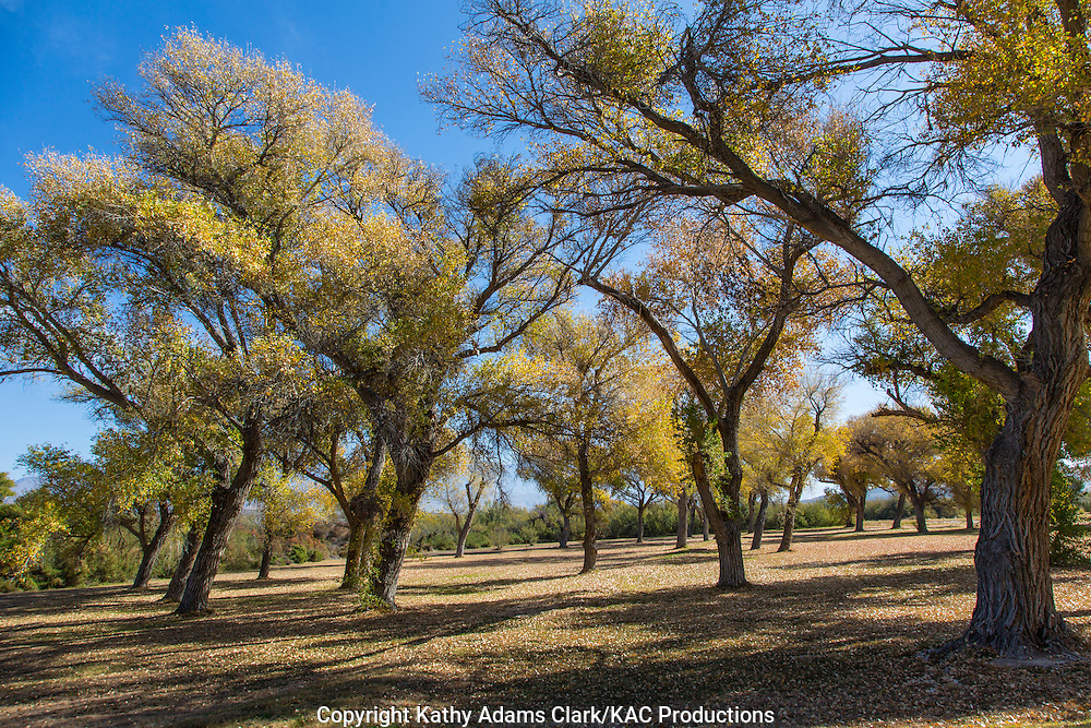 Rio Grande Cottonwood, Populus wislizeni, Big Bend National Park, Chihuahuan Desert, west Texas