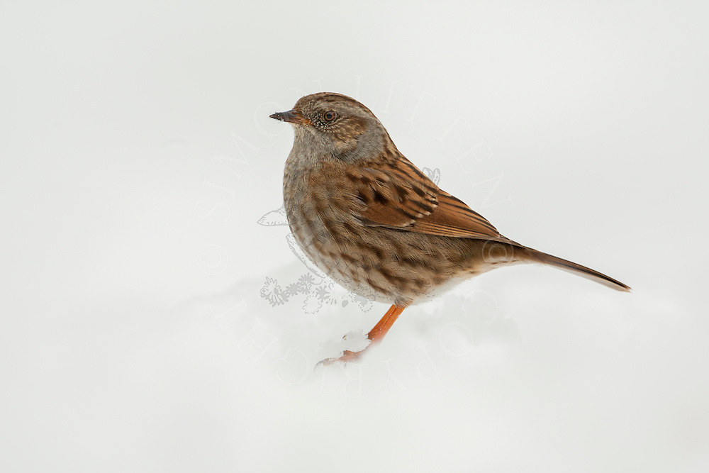 Dunnock (Prunella modularis) adult, standing on snow covered ground, Norfolk, UK.