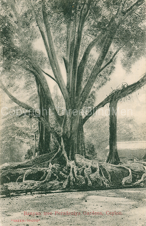 Old Postcard. Banyan Tree at Peradeniya Gardens.