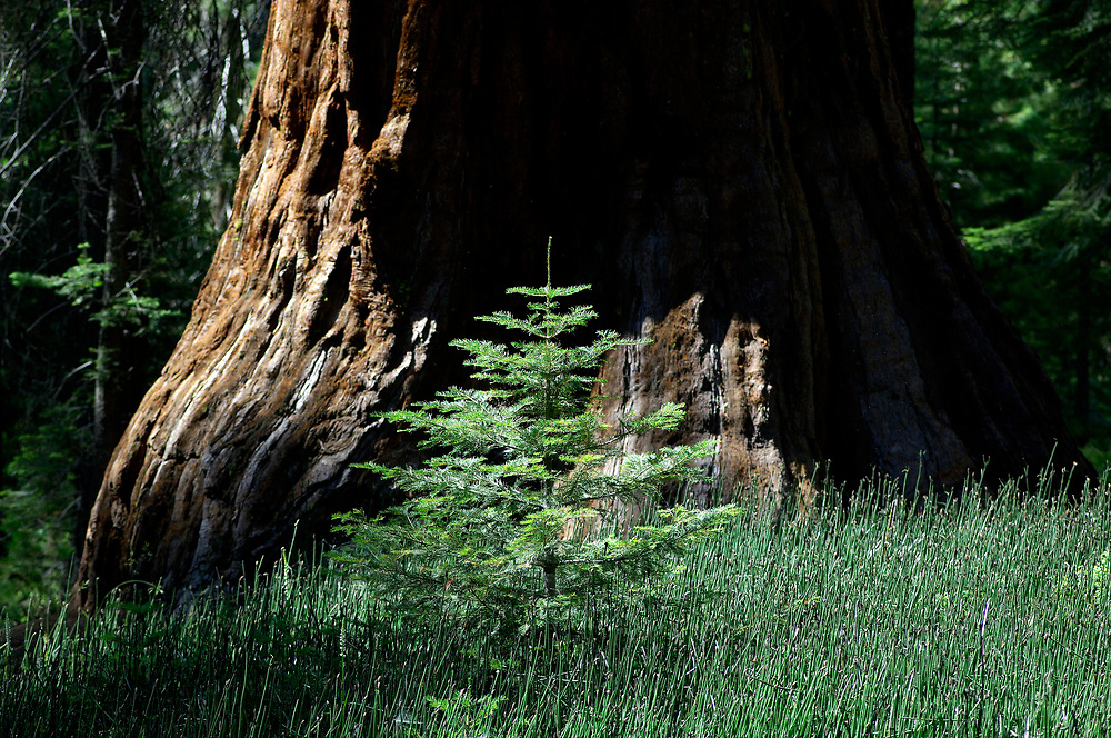 Little tree in front of Redwood Tree, Mariposa Grove, Yosemite National Park, California, United States of America