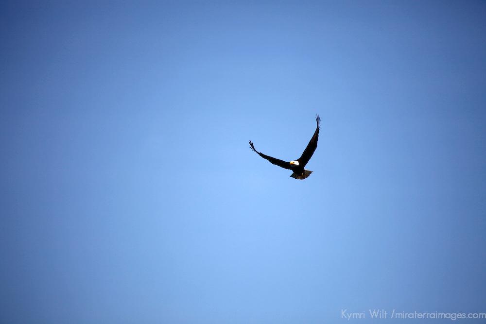 North America, USA, Alaska. Bald eagle in sky.