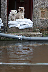© Licensed to London News Pictures. 22/12/2012. Helston, UK. Dogs look out from a house surrounded by flood water in Helston caused by the River Cober bursting its banks over night after heavy rain across the South West. The Environment Agency issued a Severe flood warning for the River Cober. Photo credit : Ashley Hugo/LNP