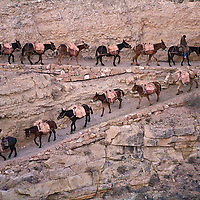 Packer Mule train heading down the South Kaibab trail at first light.