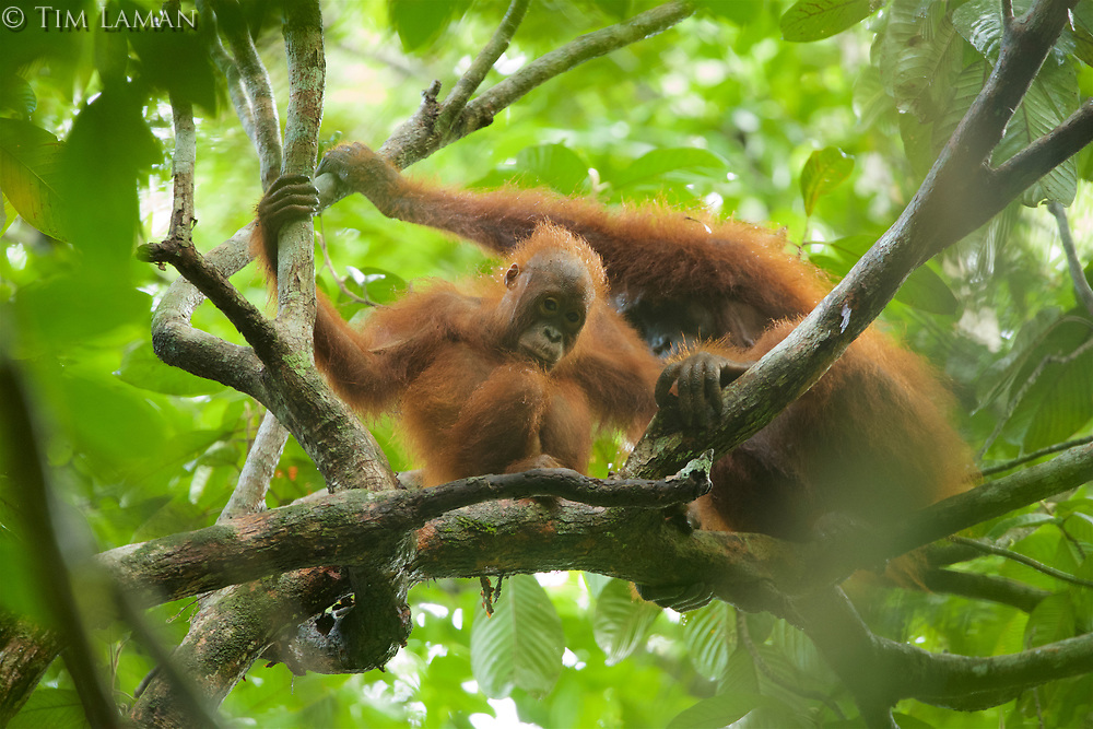 Bornean Orangutan <br />Wurmbii Sub-species<br />(Pongo pygmaeus wurmbii)<br /><br />Adult female &quot;Beth&quot; with approx 5 year old juvenile male &quot;Benny&quot;.<br /><br />Gunung Palung Orangutan Project<br />Cabang Panti Research Station<br />Gunung Palung National Park<br />West Kalimantan Province<br />Island of Borneo<br />Indonesia