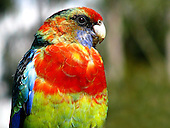 Eastern Rosella Pictures - Photos