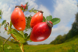 Common Briar (Rosa canina) | Hunds-Rose, Hundsrose, Heckenrose, Rose, Früchte, Hagebutte, Hagebutten, Rosa canina