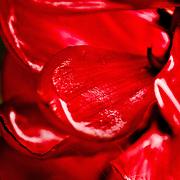 Red succulent petals, Butterly Farm, Aruba