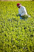 A Mexican agriculture worker harvest celery in the Imperial Valley Niland, CA.