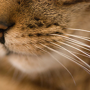 A closeup of a cat's muzzle.