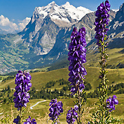 "The Wetterhorn or ""Weather Peak"" (12,143 feet) rises above purple flowers at Kleine Scheidegg in the Berner Oberland, Switzerland, the Alps, Europe. The Bernese Highlands are the upper part of Bern Canton. UNESCO lists ""Swiss Alps Jungfrau-Aletsch"" as a World Heritage Area (2001, 2007)."