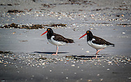 American Oystercatchers on the beach in Florida.