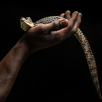 An American crocodile, Crocodylus acutus, a Vulnerable species from the Portland Bight Protected Area of Jamaica in the palm of the hand