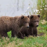 Portrait of two juvenile brown bears, Katmai National Park, Alaska