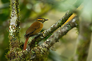 Scaly-throated Foliage-gleaner (Anabacerthia variegaticeps)<br /> Mindo<br /> Cloud Forest<br /> West slope of Andes<br /> ECUADOR.  South America<br /> HABITAT &amp; RANGE: Moist lowland and moist montanes of tropical and subtropical forests in Belize, Colombia, Costa Rica, Ecuador, El Salvador, Guatemala, Honduras, Mexico, and Panama.