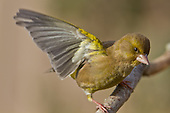Greenfinch Pictures - Photos