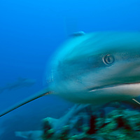 Caribbean Reef Shark, movement